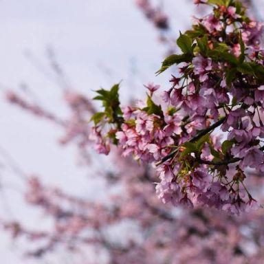2019-03-16 顾村公园樱花摄影_摄影师小酌的返片